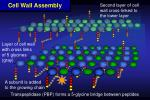 cell wall assembly