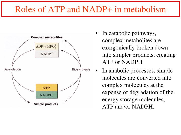 Roles of ATP and NADP+ in metabolism