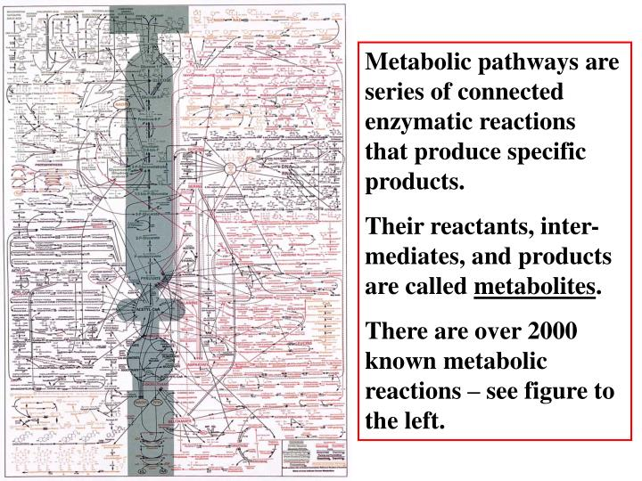 Metabolic pathways are series of connected enzymatic reactions that produce specific products.