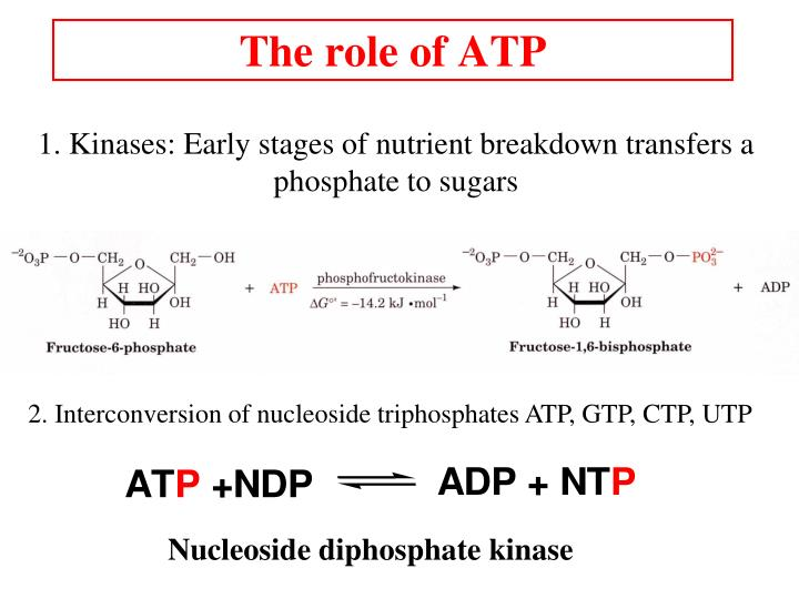 The role of ATP