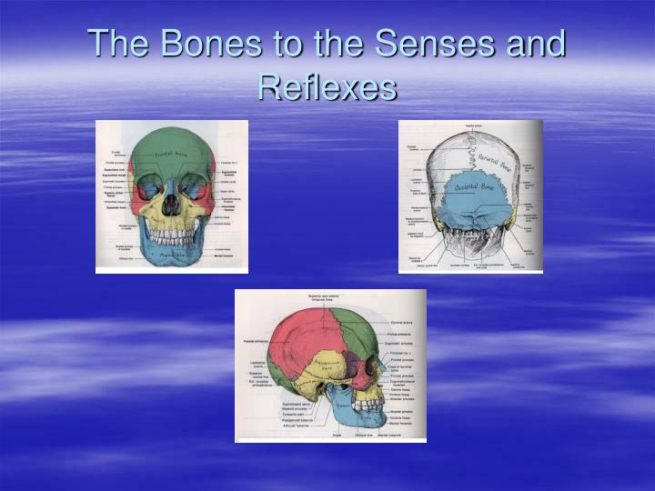 The Bones to the Senses and Reflexes