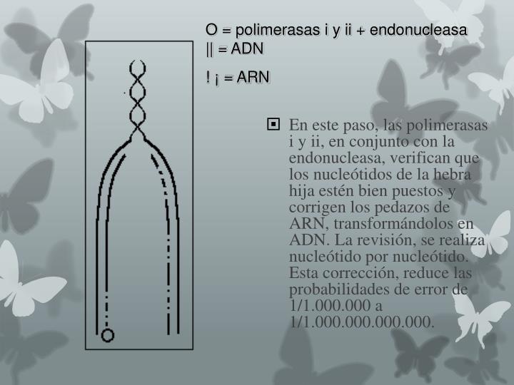 O = polimerasas i y ii + endonucleasa