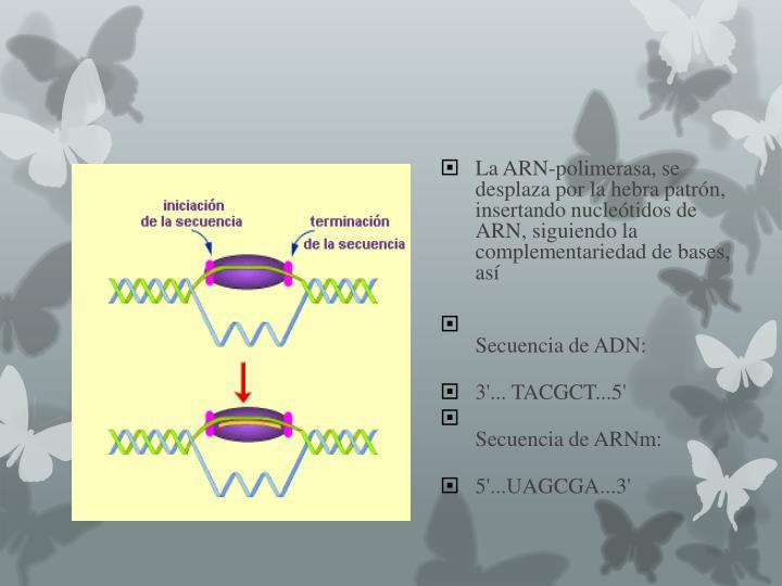 La ARN-polimerasa, se desplaza por la hebra patrón, insertando nucleótidos de ARN, siguiendo la complementariedad de bases, así