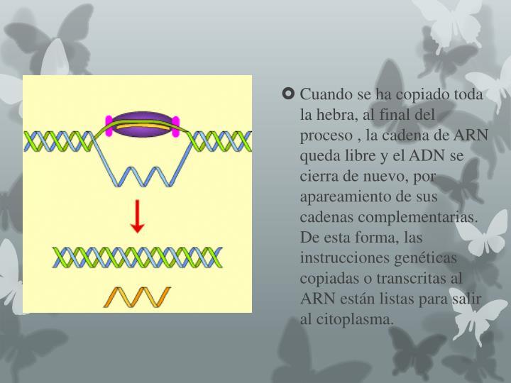 Cuando se ha copiado toda la hebra, al final del proceso , la cadena de ARN queda libre y el ADN se cierra de nuevo, por apareamiento de sus cadenas complementarias. De esta forma, las instrucciones genéticas copiadas o transcritas al ARN están listas para salir al citoplasma.