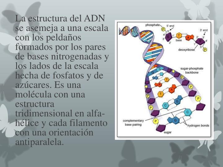 La estructura del ADN se asemeja a una escala con los peldaños formados por los pares de bases nitrogenadas y los lados de la escala hecha de fosfatos y de azúcares. Es una molécula con una estructura tridimensional en alfa-hélice y cada filamento con una orientación antiparalela.