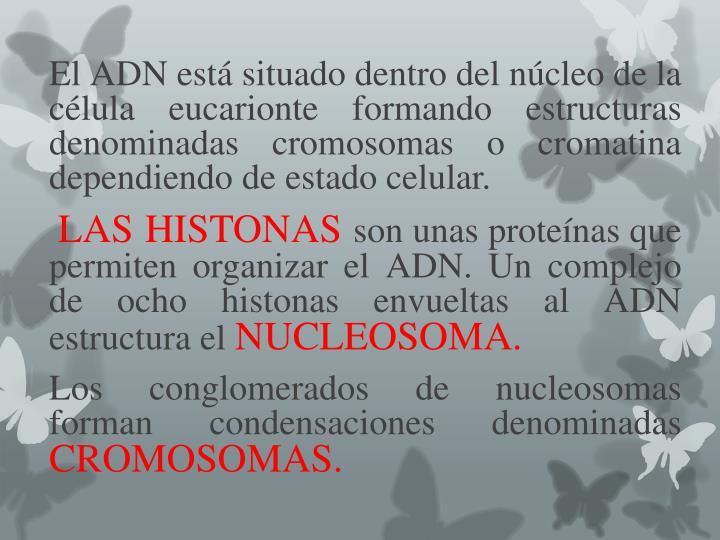 El ADN está situado dentro del núcleo de la célula eucarionte formando estructuras denominadas cromosomas o cromatina dependiendo de estado celular.