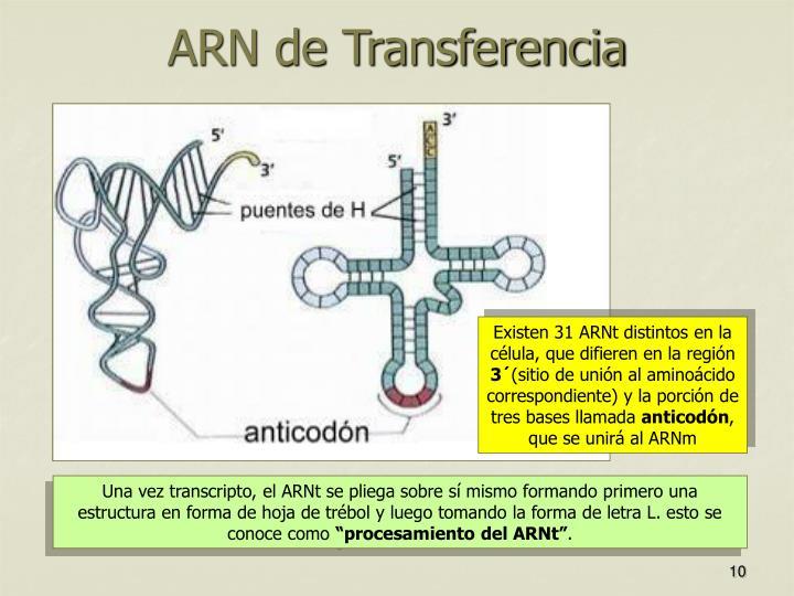 Existen 31 ARNt distintos en la célula, que difieren en la región
