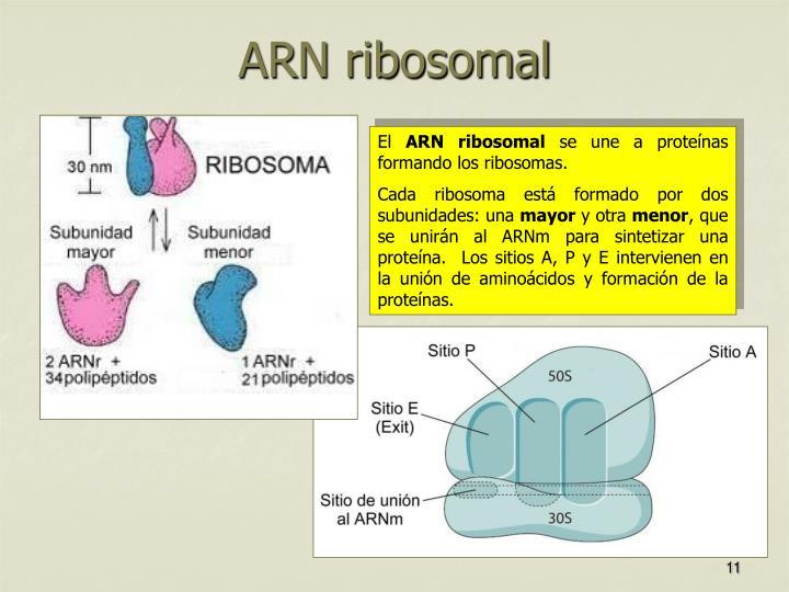 ARN ribosomal