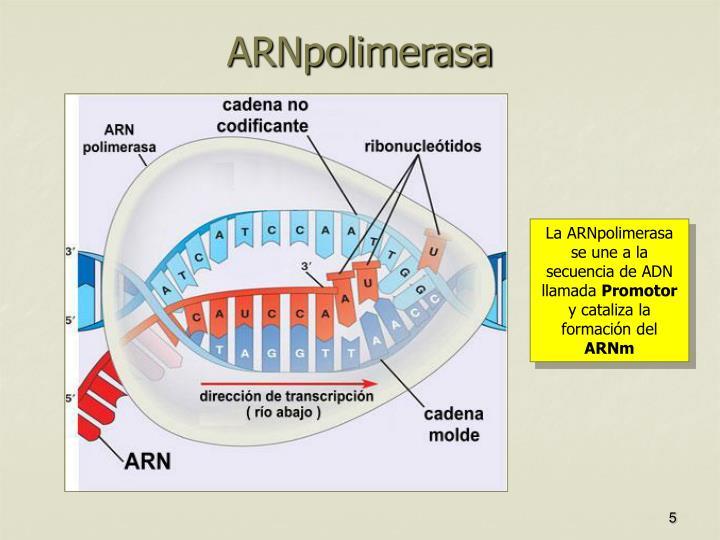 ARNpolimerasa