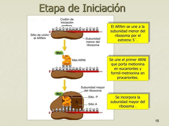 El ARNm se une a la subunidad menor del ribosoma por el extremo 5´.