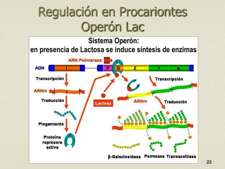 Regulación en Procariontes