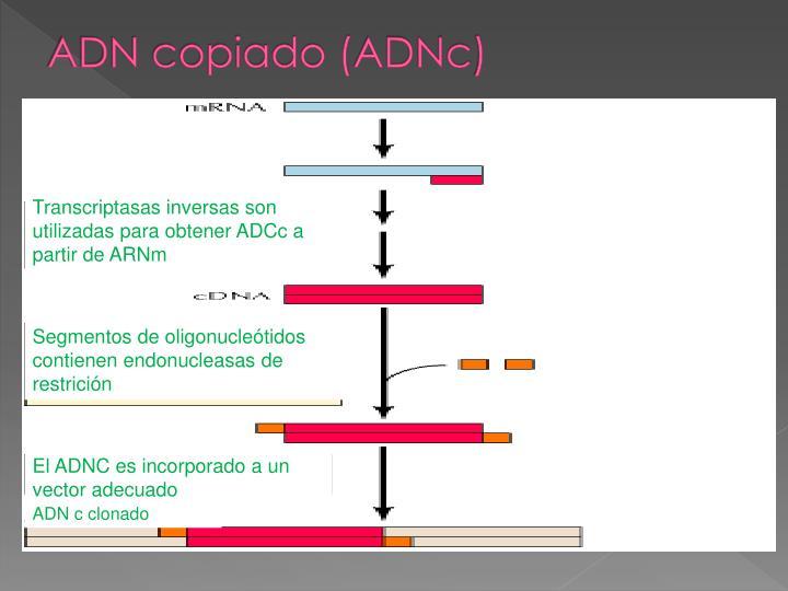 ADN copiado (