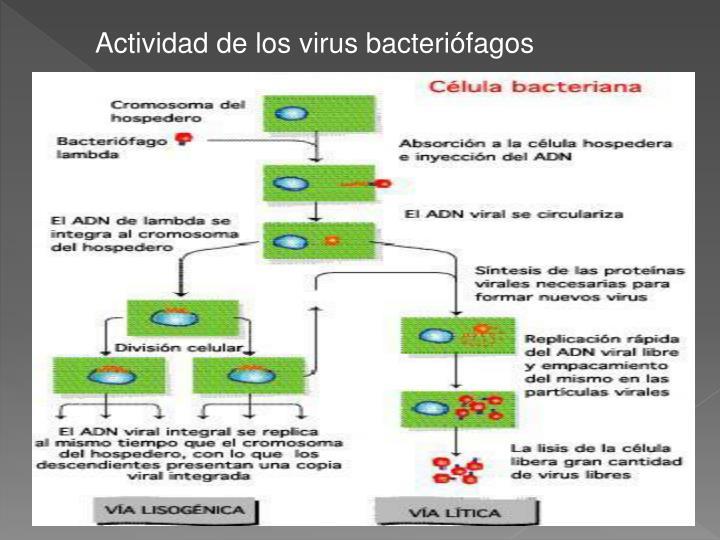 Actividad de los virus bacteriófagos