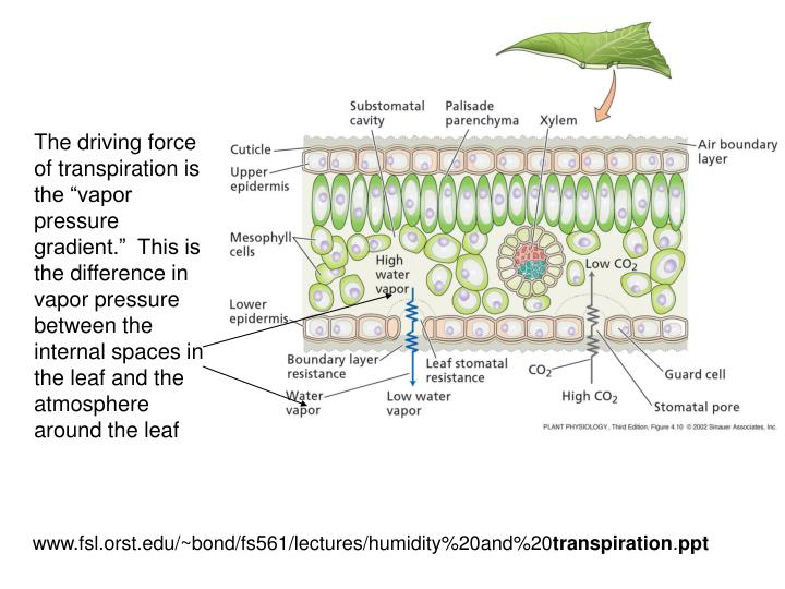 """The driving force of transpiration is the """"vapor pressure gradient.""""  This is the difference in vapor pressure between the internal spaces in the leaf and the atmosphere around the leaf"""