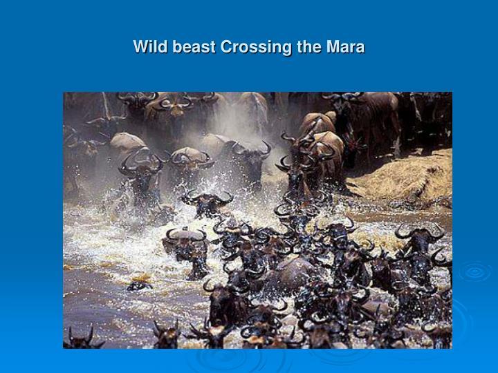 Wild beast Crossing the Mara