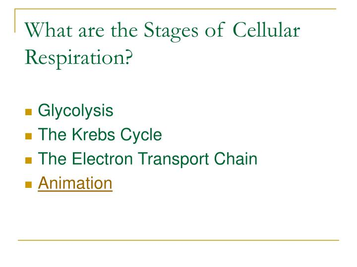 What are the Stages of Cellular Respiration?