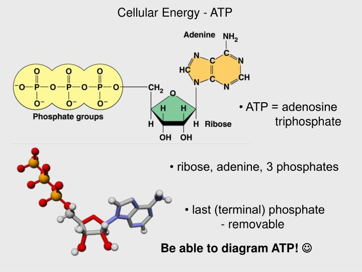 Cellular Energy - ATP