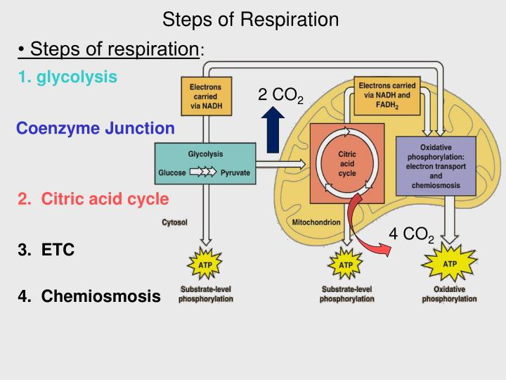 Steps of Respiration