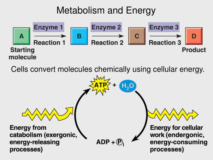 Metabolism and Energy