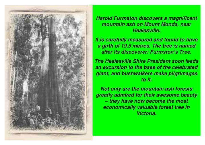 Harold Furmston discovers a magnificent mountain ash on Mount Monda, near Healesville.