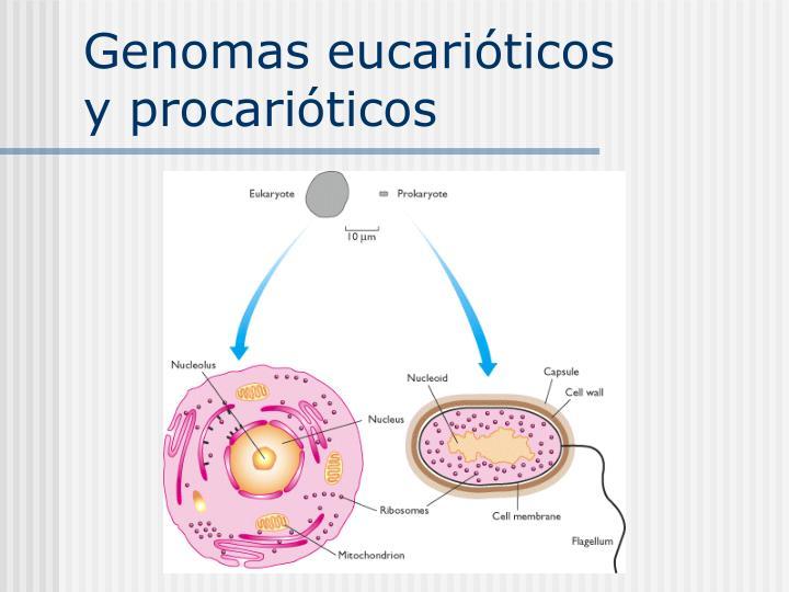 Genomas eucarióticos