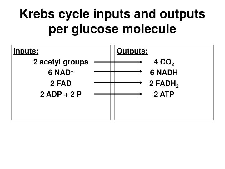Krebs cycle inputs and outputs per glucose molecule