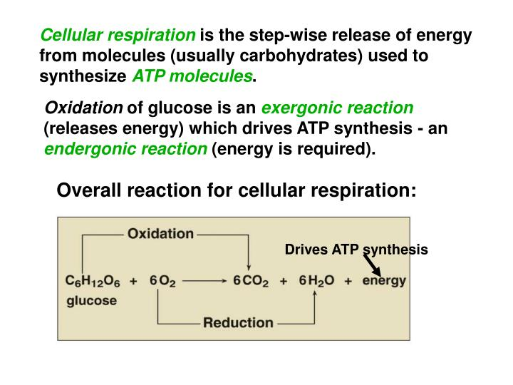 Drives ATP synthesis