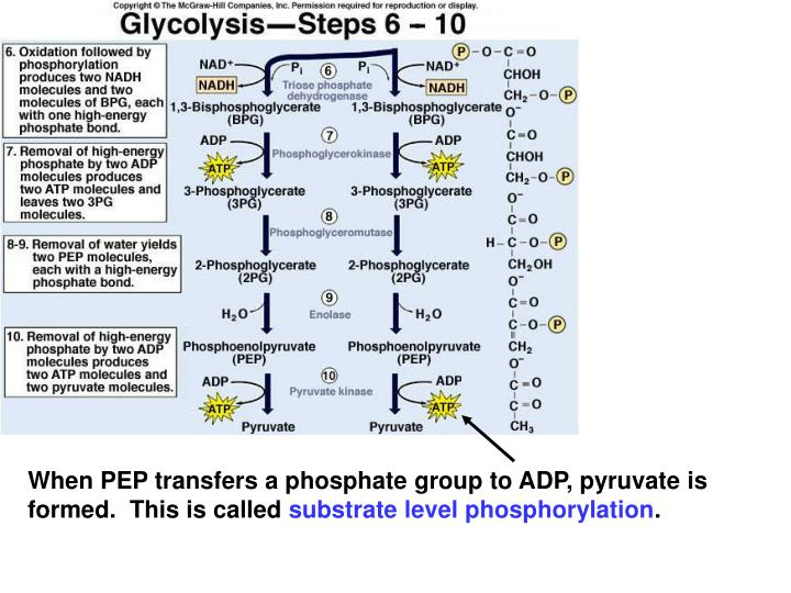 When PEP transfers a phosphate group to ADP, pyruvate is formed.  This is called