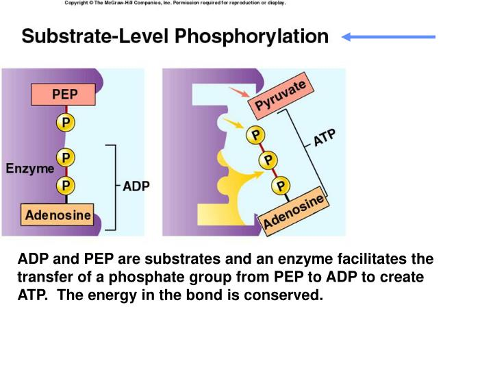 ADP and PEP are substrates and an enzyme facilitates the transfer of a phosphate group from PEP to ADP to create ATP.  The energy in the bond is conserved.