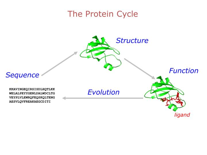 The Protein Cycle