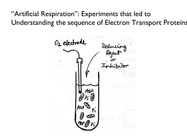 """Artificial Respiration"": Experiments that led to Understanding the sequence of Electron Transport Proteins"
