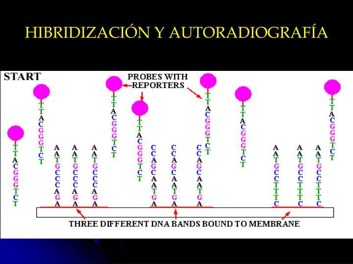 HIBRIDIZACIÓN Y AUTORADIOGRAFÍA