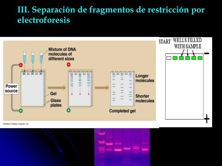 III. Separación de fragmentos de restricción por electroforesis