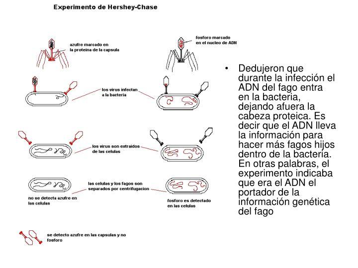 Dedujeron que durante la infección el ADN del fago entra en la bacteria, dejando afuera la cabeza proteica. Es decir que el ADN lleva la información para hacer más fagos hijos dentro de la bacteria. En otras palabras, el experimento indicaba que era el ADN el portador de la información genética del fago