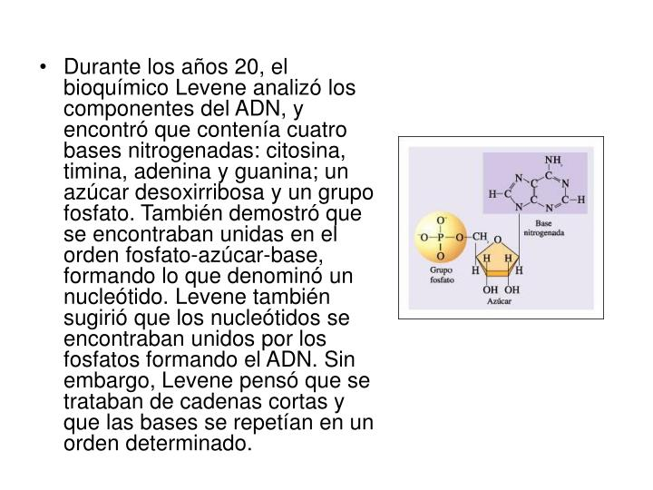 Durante los años 20, el bioquímico Levene analizó los componentes del ADN, y encontró que contenía cuatro bases nitrogenadas: citosina, timina, adenina y guanina; un azúcar desoxirribosa y un grupo fosfato. También