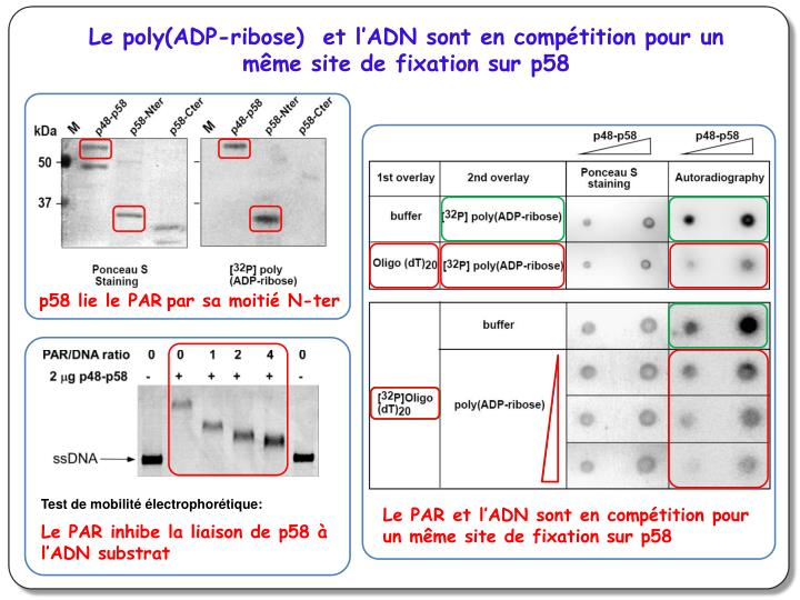Le poly(ADP-ribose)  et l'ADN sont en compétition pour un même site de fixation sur p58