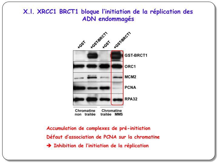 X.l. XRCC1 BRCT1 bloque l'initiation de la réplication des ADN endommagés