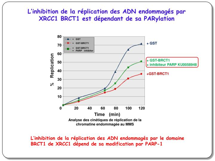 L'inhibition de la réplication des ADN endommagés par XRCC1 BRCT1 est dépendant de sa PARylation