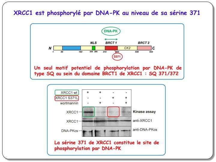 XRCC1 est phosphorylé par DNA-PK au niveau de sa sérine 371