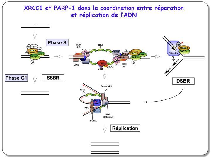 XRCC1 et PARP-1 dans la coordination entre réparation et réplication de l'ADN