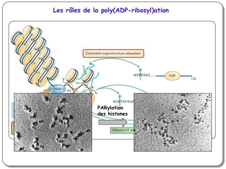 Les rôles de la poly(ADP-ribosyl)ation