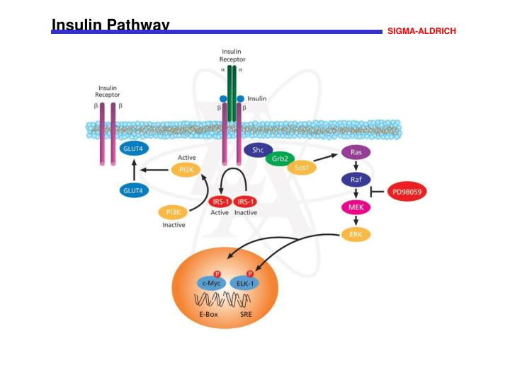Insulin Pathway