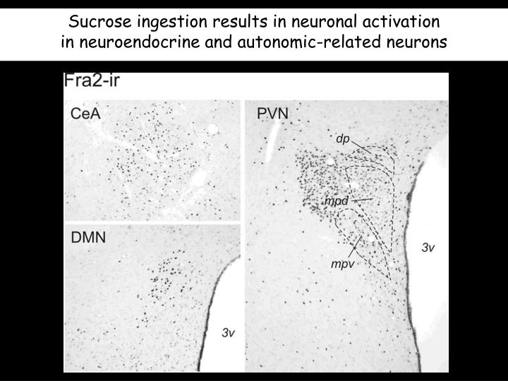 Sucrose ingestion results in neuronal activation