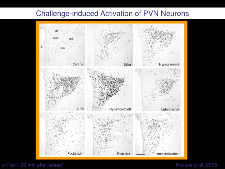 Challenge-induced Activation of PVN Neurons