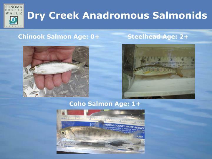 Dry Creek Anadromous Salmonids
