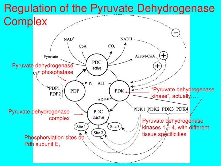 Regulation of the Pyruvate Dehydrogenase Complex