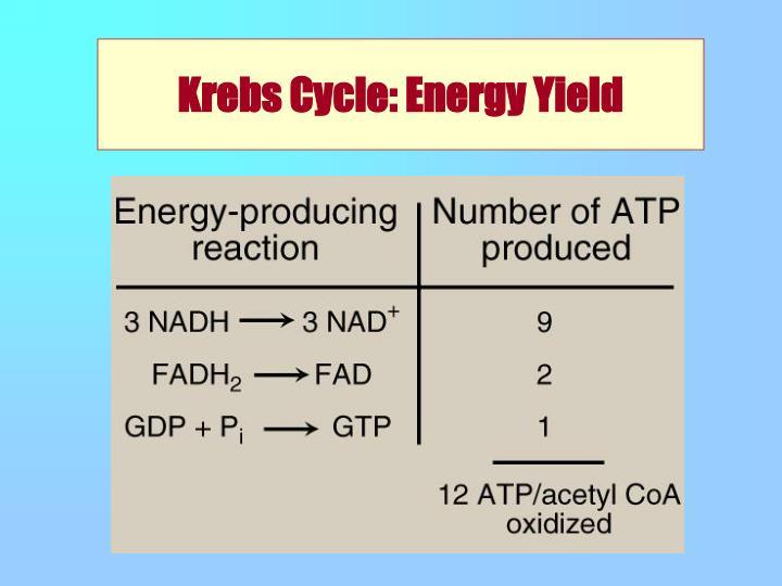 Krebs Cycle: Energy Yield
