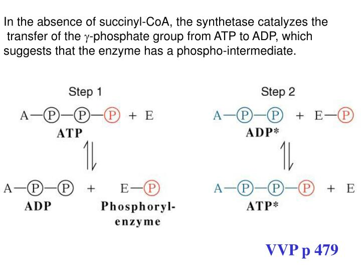In the absence of succinyl-CoA, the synthetase catalyzes the