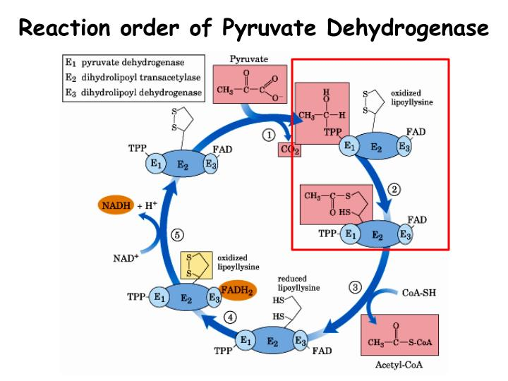 Reaction order of Pyruvate Dehydrogenase