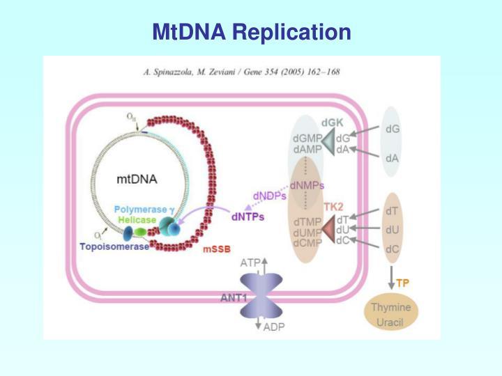 MtDNA Replication